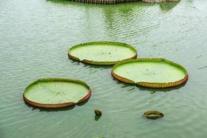 die großen Lotusblätter