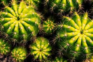 Nahaufnahme Draufsicht der Kaktuspflanze
