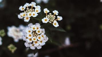 de-fokussierte kleine weiße Blüten foto