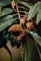 Nahaufnahme von Kastanien auf einem Baum foto