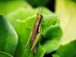 Nahaufnahme einer Heuschrecke auf grünem Hintergrund