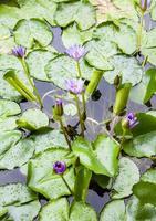 Nahaufnahme von Lotusblumen