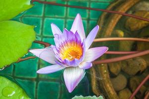 Nahaufnahme einer violetten Seerose