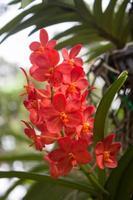 leuchtend rote Orchideen