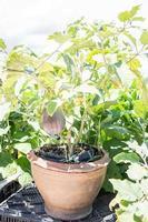 Aubergine wächst in einem Topf