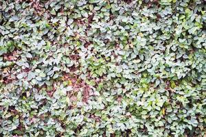 grüne Kletterblätter an der Wand foto