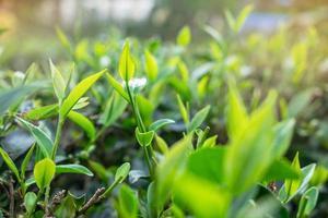 grüne Teeblätter