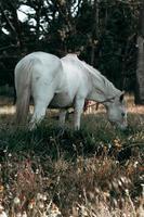 wunderschönes weißes Pferd, das Gras isst