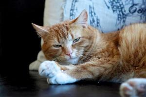 orange getigerte Katze liegend