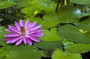 lila Blume auf Seerosenblättern