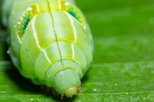 Wurm auf einem Blatt, Makro