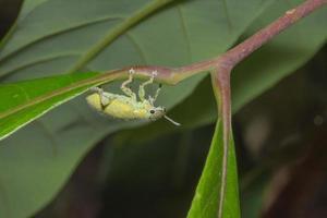 Hypomeces Squamosus Fabricius auf einem Blatt foto