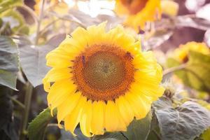 Nahaufnahme einer Sonnenblume im Sonnenschein