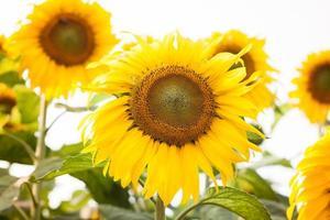 schöne Sonnenblumen auf einem weißen Hintergrund