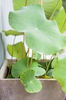grüne Lotusblätter in einem Hausgarten