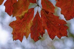 Baumzweig mit rostigen Blättern