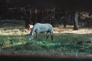 Schuss vom Zaun eines weißen Pferdes, das Gras frisst