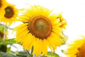 Gruppe von Sonnenblumen während des Tages
