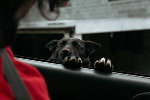 neugieriger schwarzer Hund, der um Aufmerksamkeit in einem Auto bittet