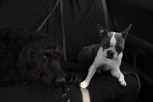 zwei Hunde sitzen auf einem Stuhl