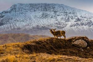 zwei Hirsche am Berg foto