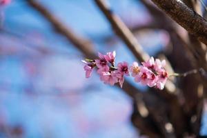Kirschblütenhintergrund für Osterkonzept foto