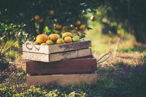 frisch gepflückte Orangen foto