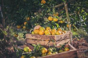frisch gepflückte Orangen