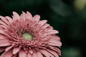 Nahaufnahme einer rosa Blume
