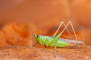 grüne Heuschrecke, Nahaufnahmefoto