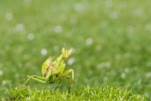 Heuschrecke im Gras