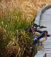 drei bunte Enten
