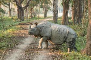 Nashorn beim Überqueren einer Straße foto