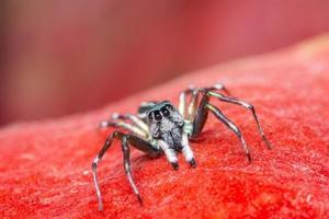 Spinne auf rotem Hintergrund