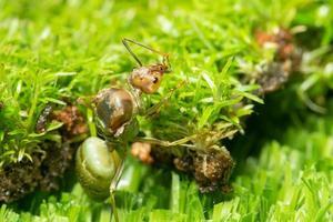 grüne Ameise im Gras