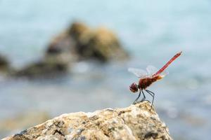 Libelle auf einem Felsen