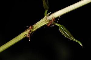 Ameisen auf einem Ast