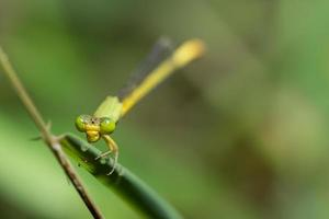 Zygoptera an einer Pflanze