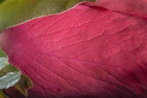 schöne rote Rosen, Nahaufnahme