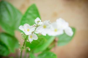 blühende weiße Blüten der kriechenden Burhead-Pflanze