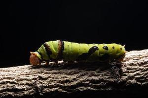 grüner Wurm auf einem Ast foto