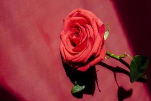 rote Rose auf rotem Hintergrund