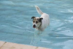 Ein streunender Hund schwimmt in einem Pool