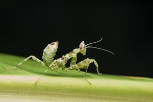 Mantodea auf einem Blatt foto