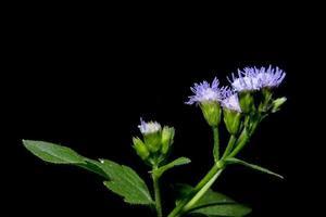 Wildblume auf schwarzem Hintergrund