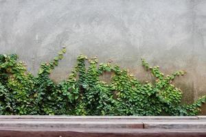Efeu wächst an einer Wand foto
