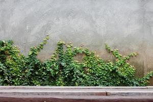 Efeu wächst an einer Wand