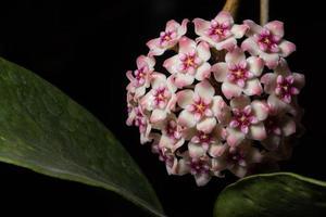 Hoya Blumen, Nahaufnahmefoto