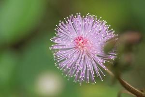 violette Blume, Nahaufnahmefoto