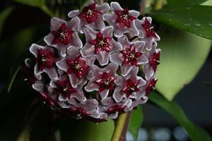 Hoya Blumen, Nahaufnahmefoto foto